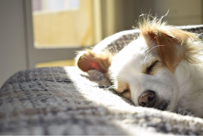 Why Some Dog Breeds Are Better for Indoor People